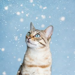 blue-eyed-bengal-cat-stood-against-blue-background-with-glitter-falling