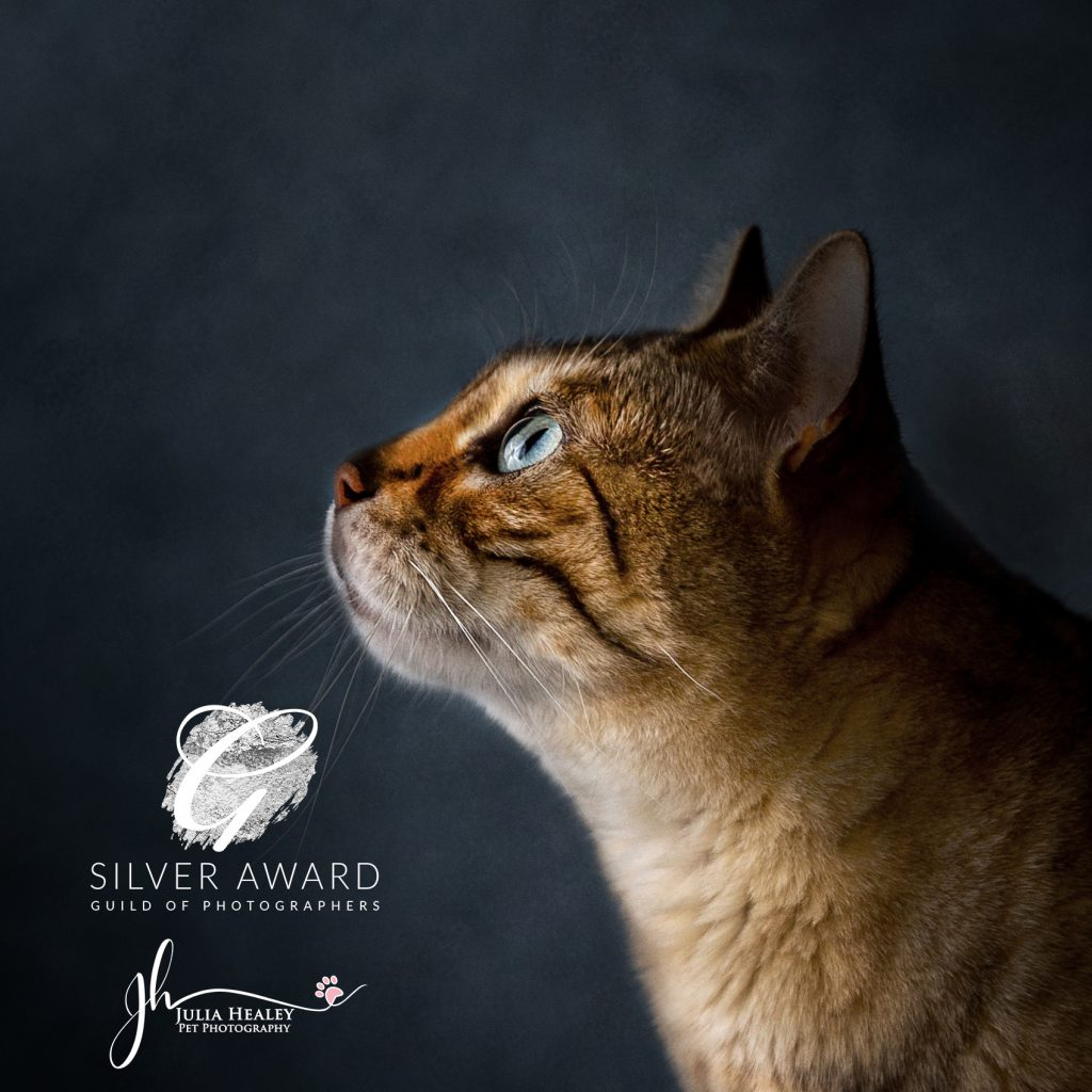 pet pawtrait photoshoot silver-award-of-side-profile-of-bengal-cat