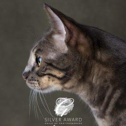 bengal-cat-side-profile-silver-award