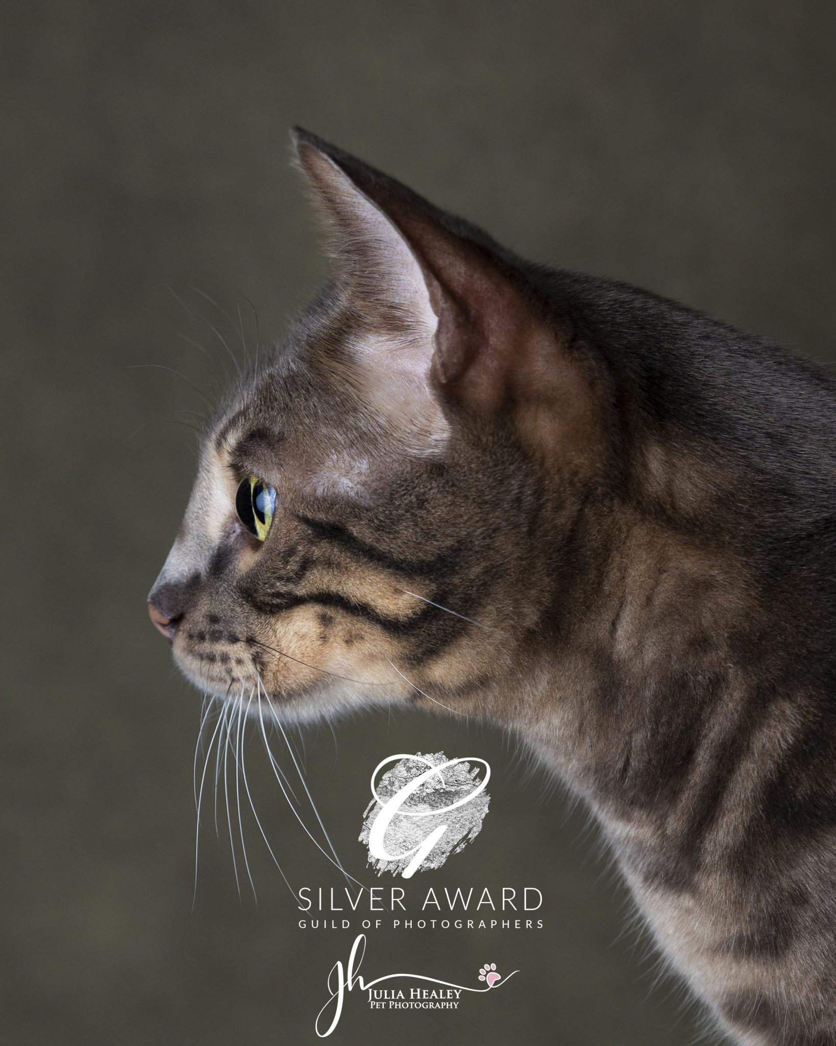 bengal-cat-side-profile-silver-award