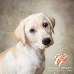 golden-Labrador-puppy-side-profile-against-beige-background