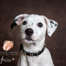 bronze-award-jack-russell-puppy-in-studio-with-brown-backround