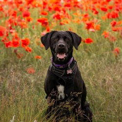 black labrador sat in poppy field