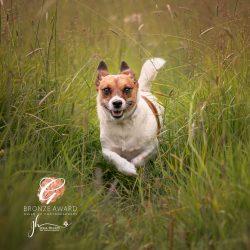 jack Russell dog running though long grass