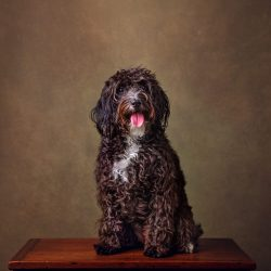 black-cockapoo-puppy-dog-sat-on-box-with-brown-background