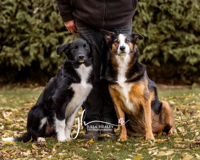 boarder collies standing at owners feet