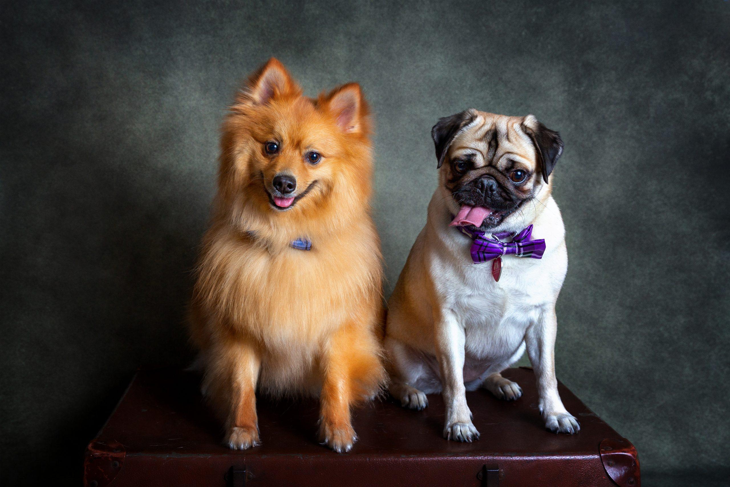 Dog Gallery Julia Healey Photography Pet Pawtrait Photographer