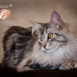 bronze-award-of-grey-maine-coon-cat-in-studio