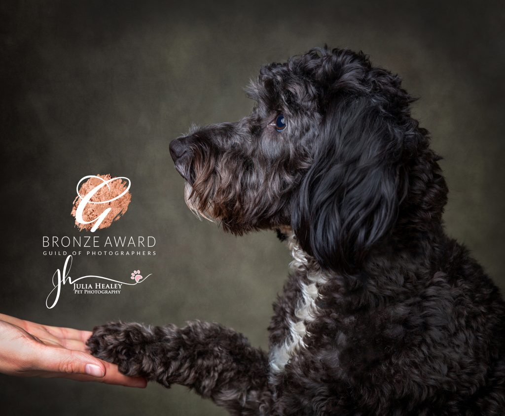 cockerpoo giving paw to owner pet pawtrait photoshoots