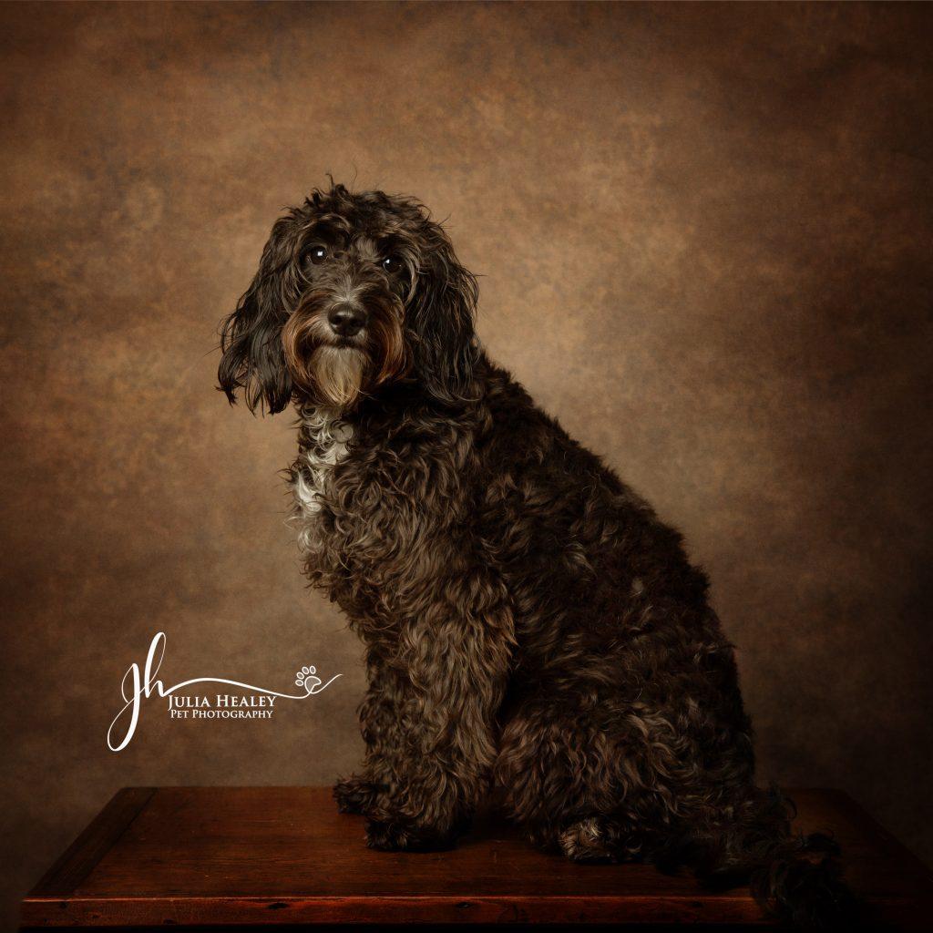 cockapoo puppy in pet pawtrait photoshoot home studio