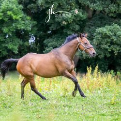 brown horse galloping though field