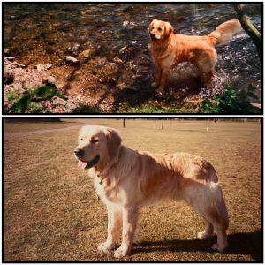 collage of golden retriever dog in field